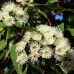 El eucalipto arrojó promedios de 40 kilos por colmena
