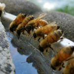 Intoxicación de abejas a través de charcos de agua